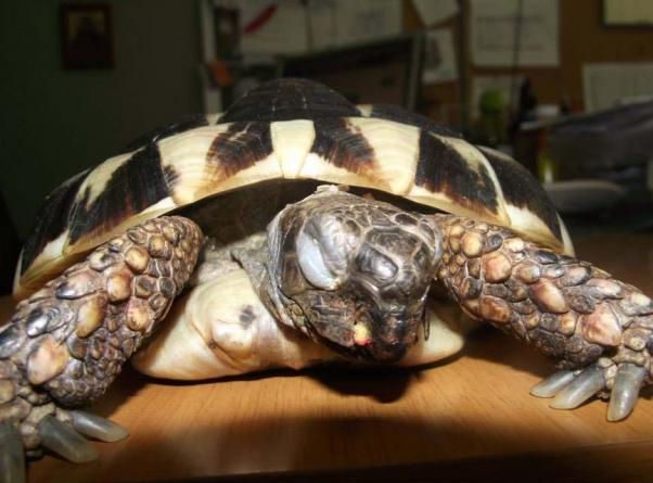 Σε κρίσιμη κατάσταση η χελώνα που κακοποίησαν λόγω άγνοιας