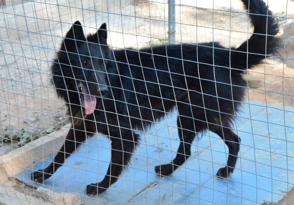Χαρίζεται Βέλγικο λυκόσκυλο