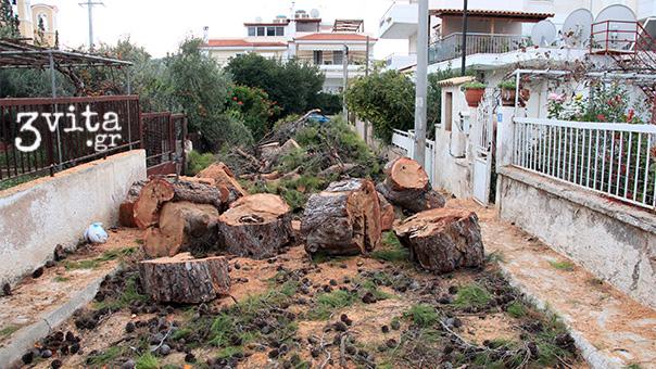 Ρέκβιεμ για το υπεραιωνόβιο πεύκο που έκοψε ο Δήμος στη Βάρη