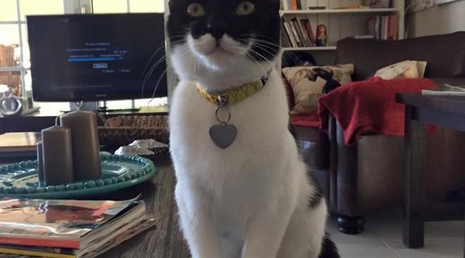 Χάθηκε ασπρόμαυρος γάτος