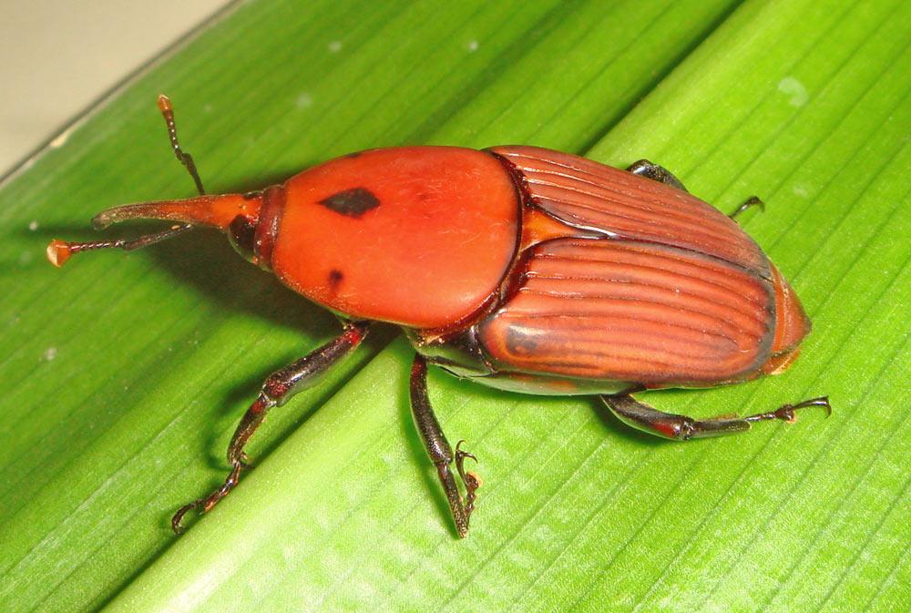Rhynchophorus-ferrugineus
