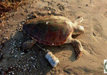 Αρρωστημένη δολοφονία χελώνας Caretta Caretta στη Νάξο