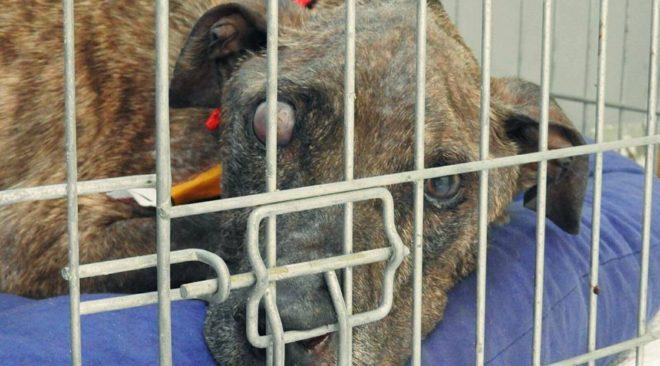 Σε κρίσιμη κατάσταση ο σκελετωμένος σκύλος που βρέθηκε στην Γλυφάδα (βίντεο)