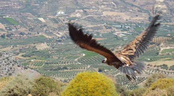 ΕΚΠΑΖ: Πτήση ελευθερίας για 9 πληγωμένους γύπες