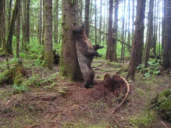 H αρκούδα της Πίνδου ζει και βασιλεύει! Αυτό λένε οι τρίχες στους στύλους της ΔΕΗ