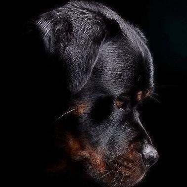 Ροτβάιλερ: μαύρα, μεγαλόσωμα και πολύ αγαπησιάρικα