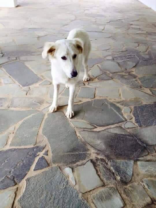Επείγον - Αγνοείται λευκή σκυλίτσα