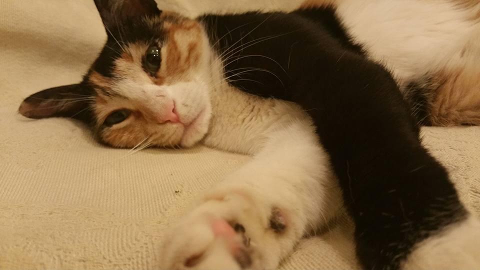 Χάθηκε γάτα στη Βούλα