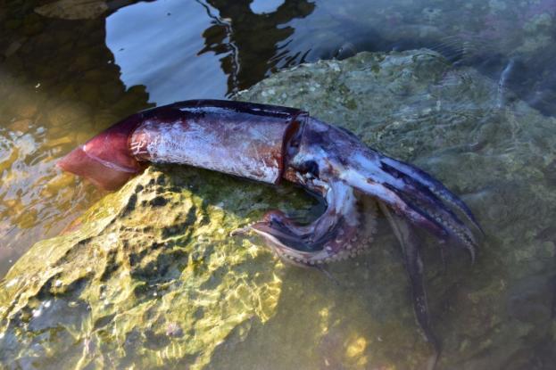 Γιγάντιο καλαμάρι έπιασε ψαράς στο Ναύπλιο