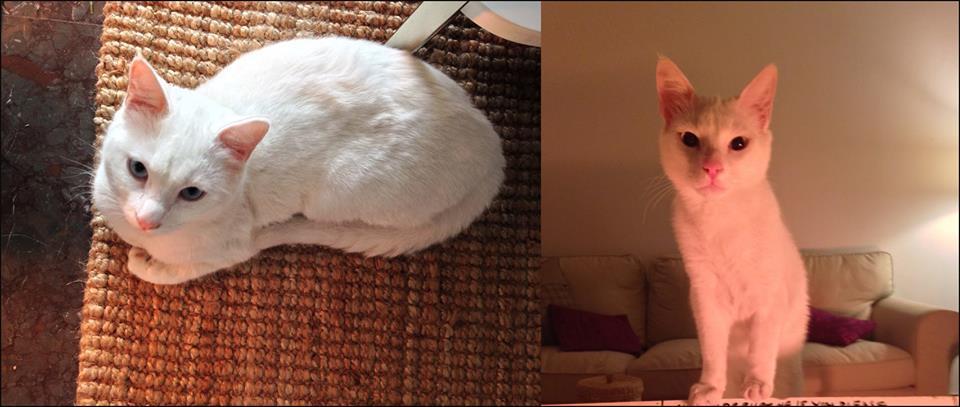 Χάθηκε λευκός γάτος