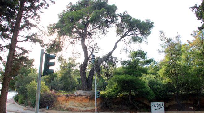 Σώζεται το μνημειώδες πεύκο της παραλιακής στο Καβούρι