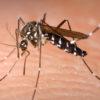 Μια οικολογική αντιμετώπιση του κουνουπιού Τίγρης ξεκινά στη Βραυρώνα