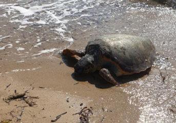 Μία καρέτα καρέτα νεκρή στην παραλία του Καβουρίου