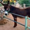 Η συναρπαστική ιστορία του Ισίδωρου, του Γάλλου γάιδαρου από το Κορωπί
