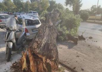 Σχέδιο κοπής 1.200 λευκών στη Θεσσαλονίκη, ως επικίνδυνων για πτώση
